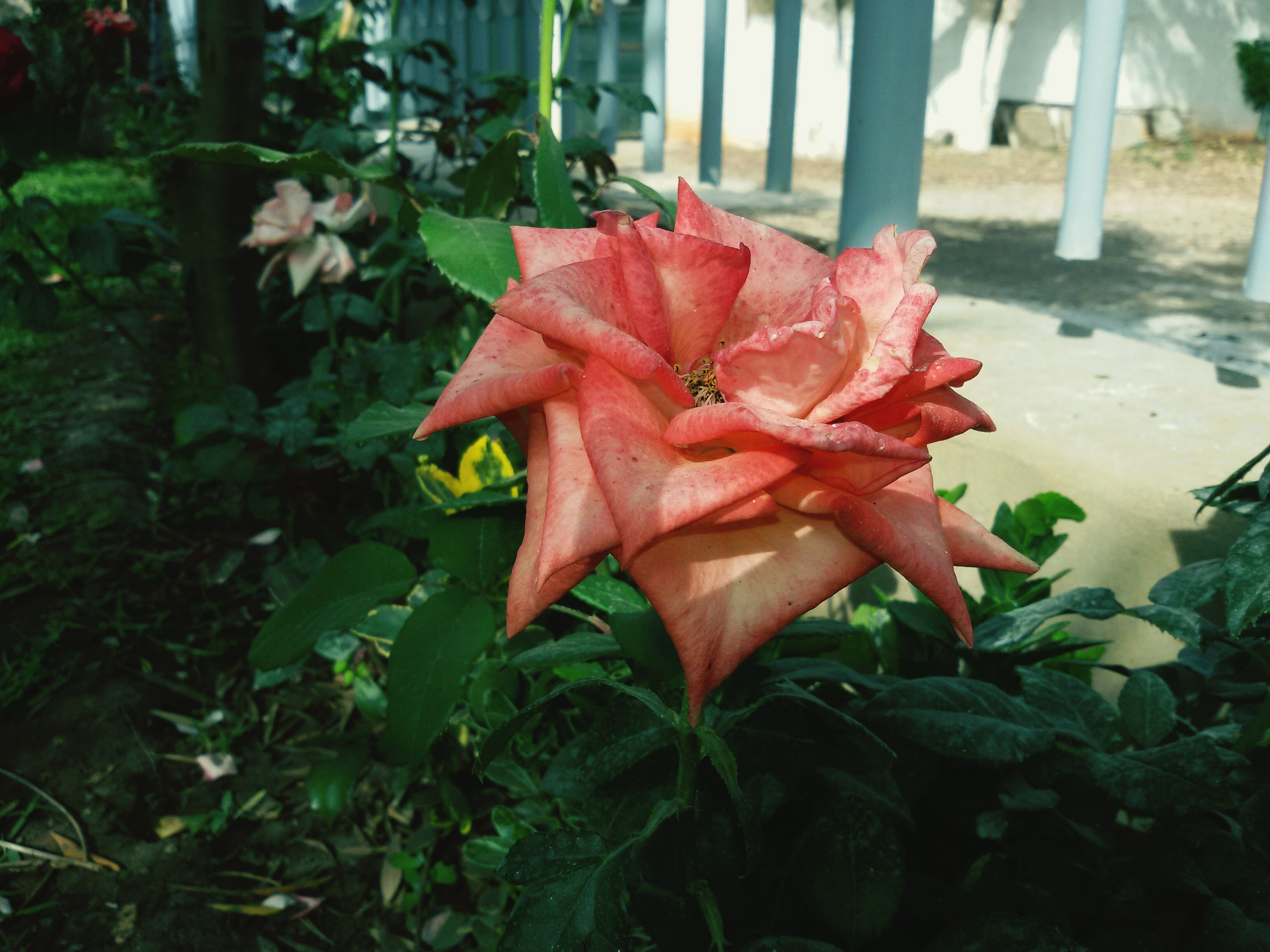 leaf, flower, growth, red, plant, petal, fragility, close-up, freshness, beauty in nature, focus on foreground, flower head, nature, blooming, day, orange color, front or back yard, outdoors, no people, sunlight