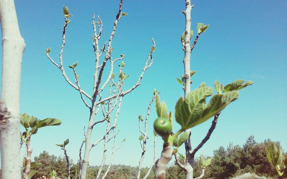 Minimal First Leaves Fig Fig Tree Fruit Tree Blue Sky Clear Day