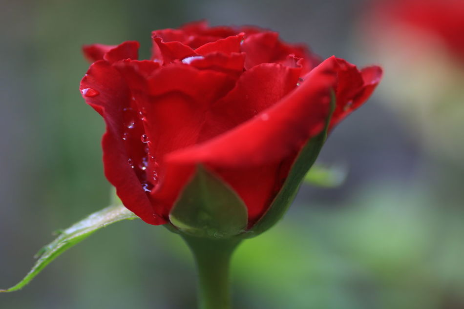Red Flower Red Rose - Flower Roses Flowers  Red Flower Flower Head No People Water Close-up Drop Nature