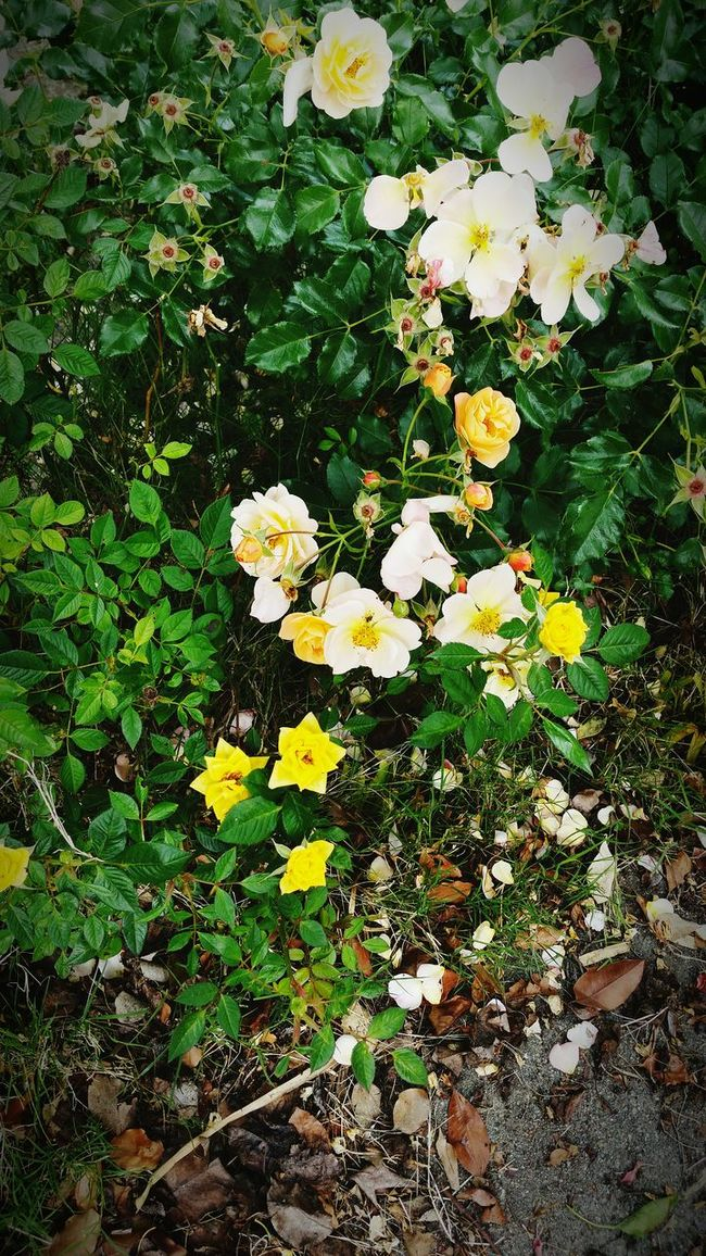 Front yard flowers. Flowers, Nature And Beauty Plants 🌱 Flower Photography Plant Photography Rose🌹 Flower