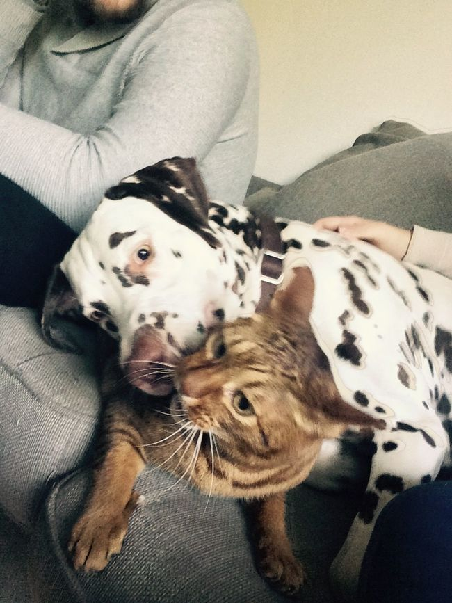 Capture The Moment Cats And Dogs Dalmatian Ocicat Friends Crazy Moments