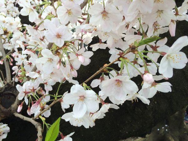 Sakura☆cherry Blossam Sakura Blossom Sakura Trees Sakura2016 Sakura Edo Castle