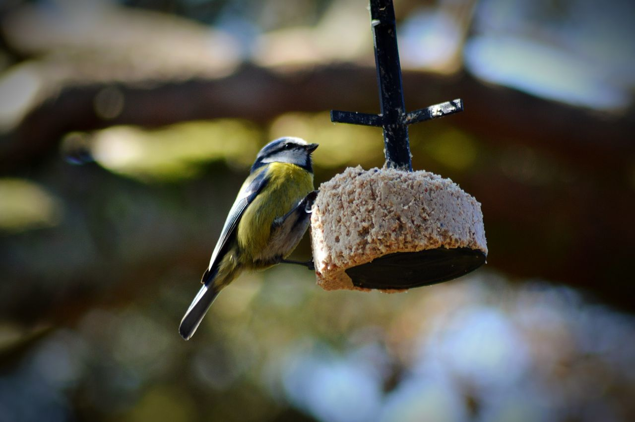 animal themes, animals in the wild, one animal, bird, animal wildlife, focus on foreground, no people, bird feeder, day, close-up, outdoors, perching, nature, great tit