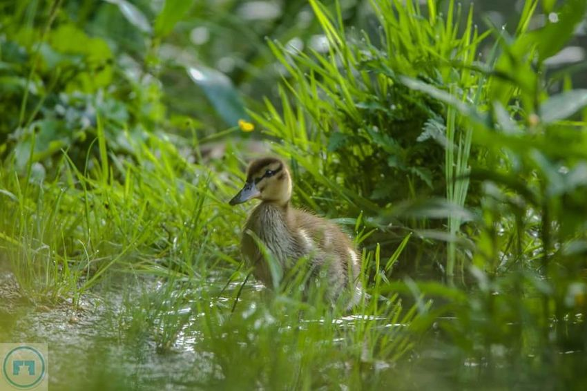 Nature Wildlife Duck Babyducks Ente Baby