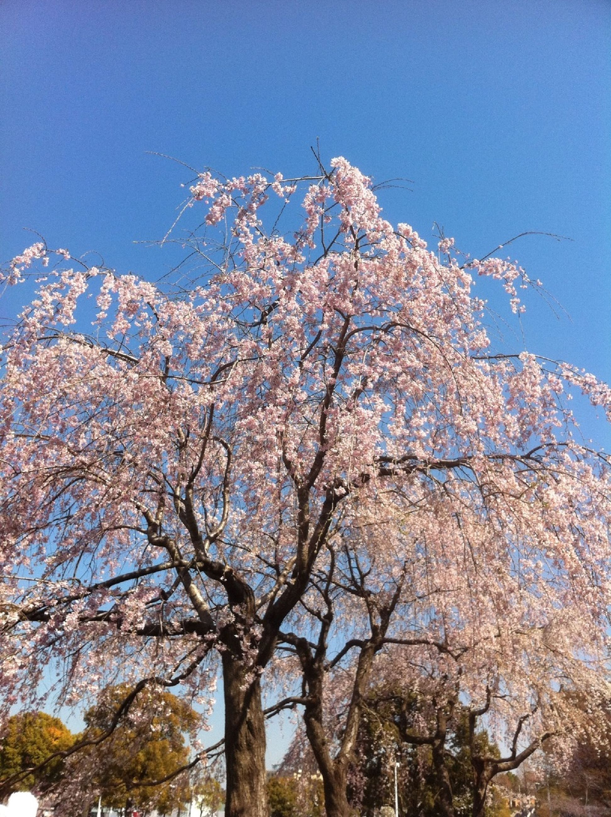 low angle view, tree, clear sky, branch, flower, growth, blue, beauty in nature, nature, cherry blossom, freshness, blossom, cherry tree, sky, fragility, day, tranquility, white color, outdoors, sunlight
