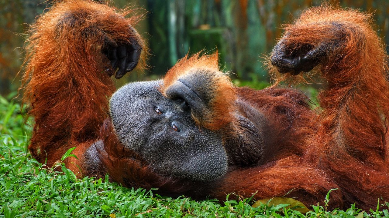 Orangutan Primate Animals In The Wild Mammal Animal Wildlife Monkey Ape Animal Themes Day Brown No People Outdoors Nature Close-up Portrait Grass Sumatran Orangutan Live For The Story