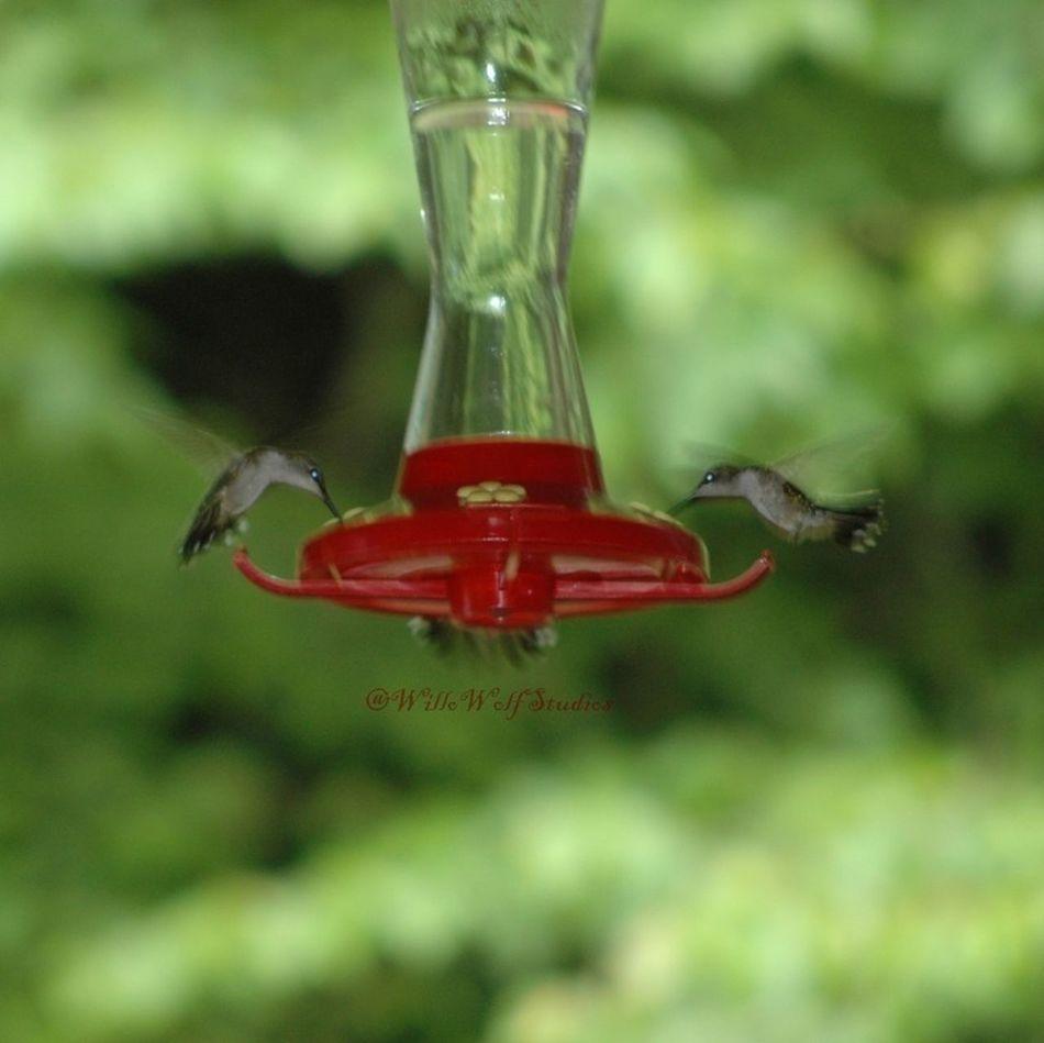 Watching Humming Birds