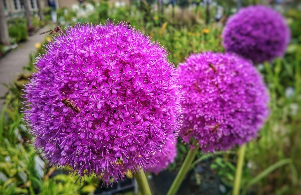 Flowers Garden Garden Photography Gernany Sommer Bees Bienen  Bienen Bei Der Arbeit Purple Flower Purple