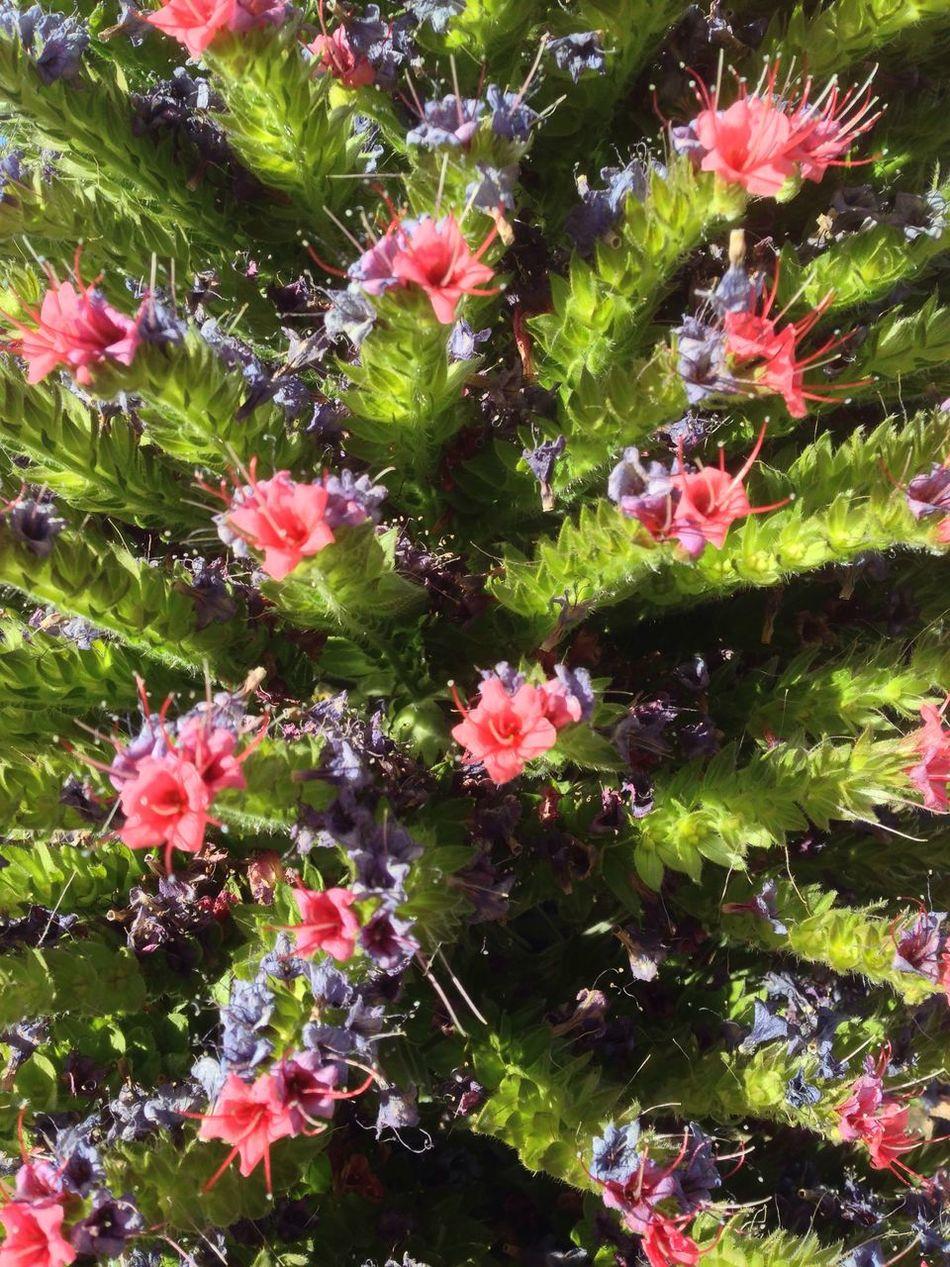 Flower Tajinastes Teide Beauty In Nature Plant Springtime