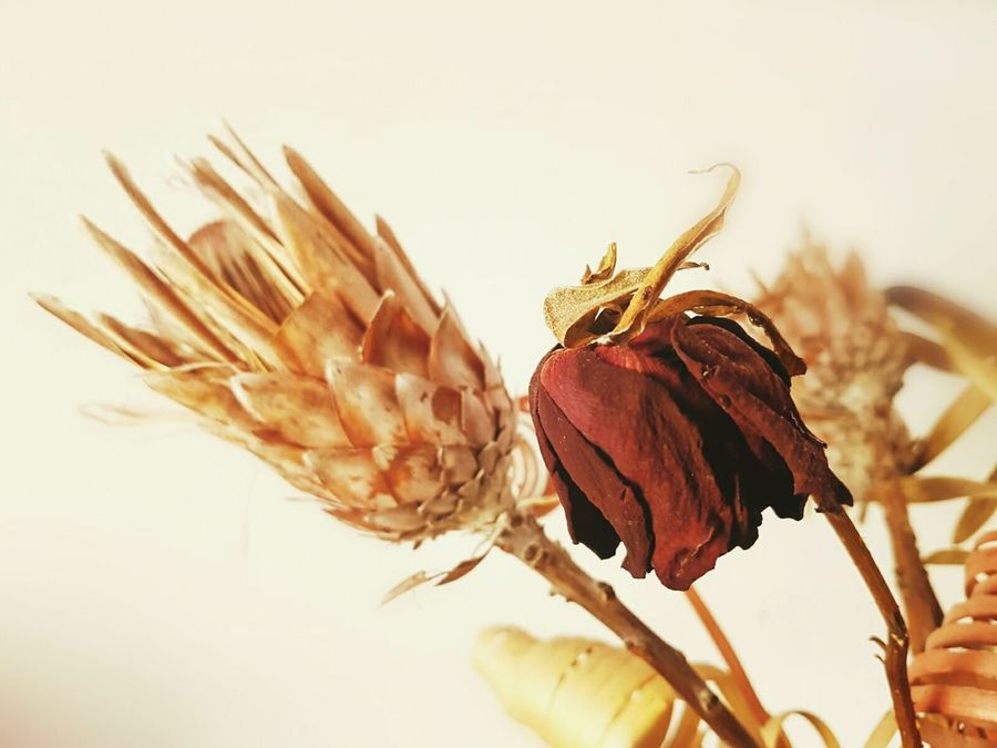 Flower Plant Fragility Flower Head Abstract Photography ArtWork Close-up Dryflower EyeEm Flower