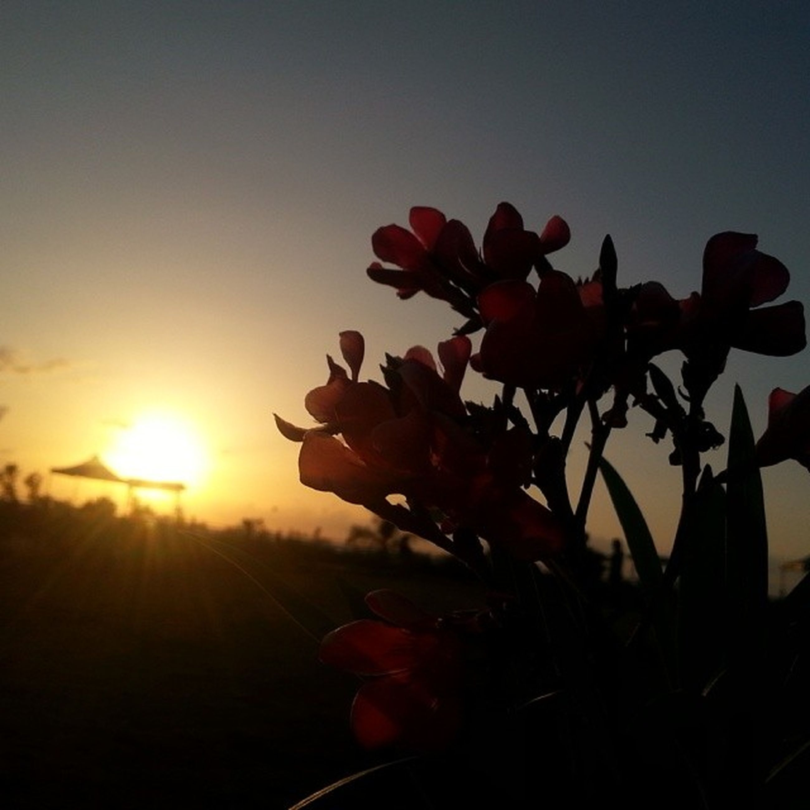 flower, sun, growth, beauty in nature, freshness, nature, sunset, plant, sunlight, fragility, petal, sky, clear sky, close-up, stem, red, focus on foreground, field, sunbeam, silhouette