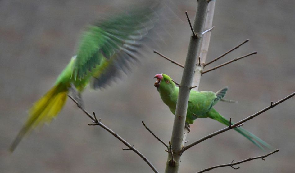 Bird Photography Rose Ring Parakeet Urbannature Animal Photography EyeEm Nature Lover