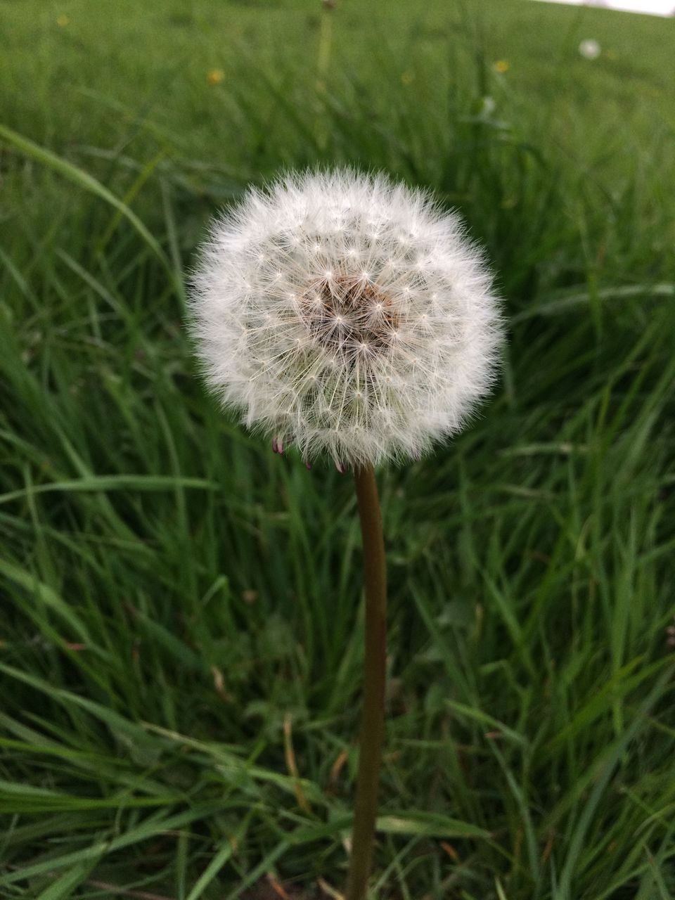 growth, flower, dandelion, nature, fragility, softness, grass, plant, beauty in nature, freshness, uncultivated, close-up, flower head, outdoors, no people, day