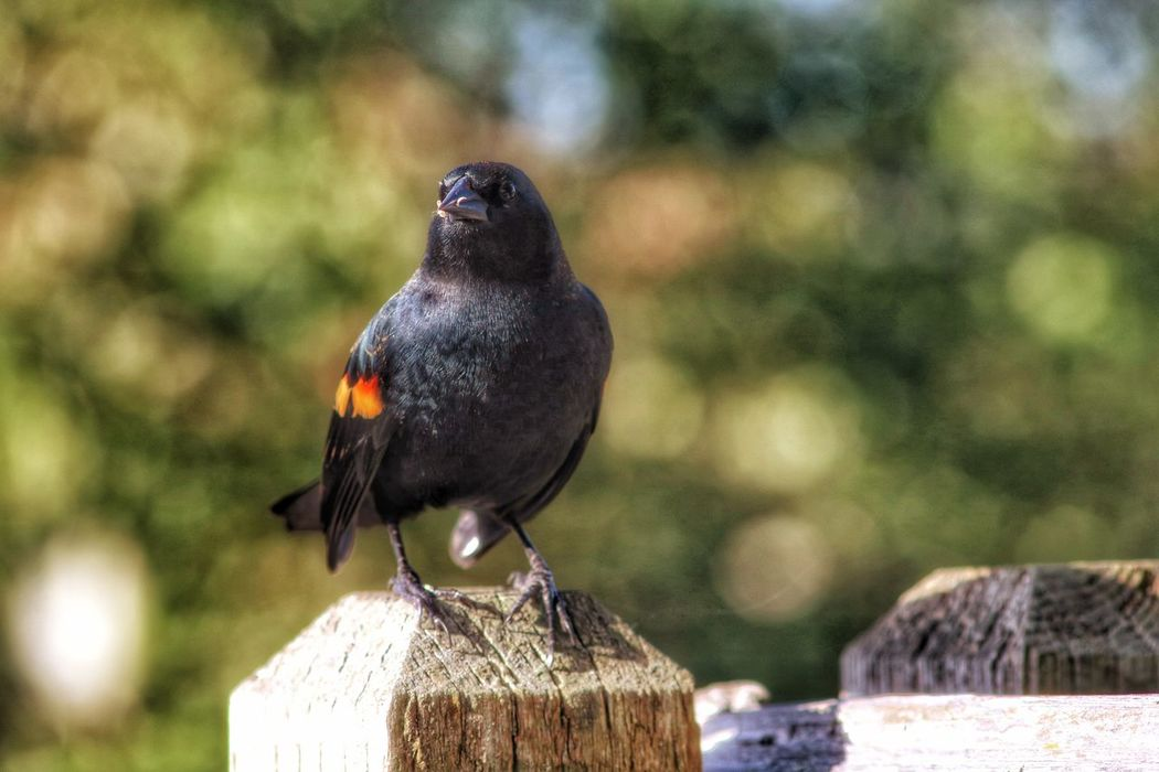 Animal Themes Animals In The Wild Bird One Animal Wildlife Focus On Foreground Perching Beak Nature Zoology Day Outdoors Green Color Beauty In Nature No People Tranquility Redwing Blackbird