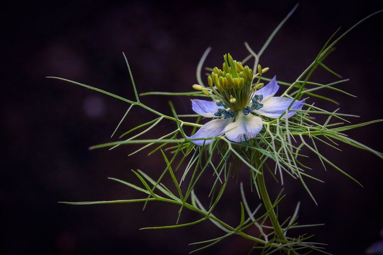 Everyone call me 'Love in a mist' Flower Nigella Damascena EyeEm Nature Lover From My Point Of View EyeEm Gallery In My Garden Black Background Blooming Blue Flowers Getting Inspired