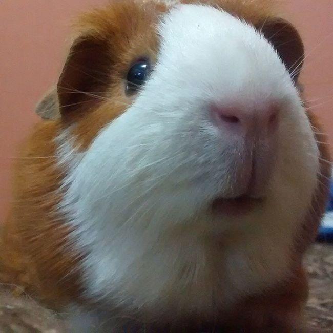 Cuy Čavi Cobaya Moritta pet animals @mooritta
