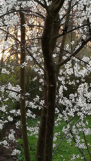 Spring Tree Tree Trunk Outdoors Nature Beauty In Nature Denmark 🇩🇰🇩🇰🇩🇰 Whiteflower Light Effect No People