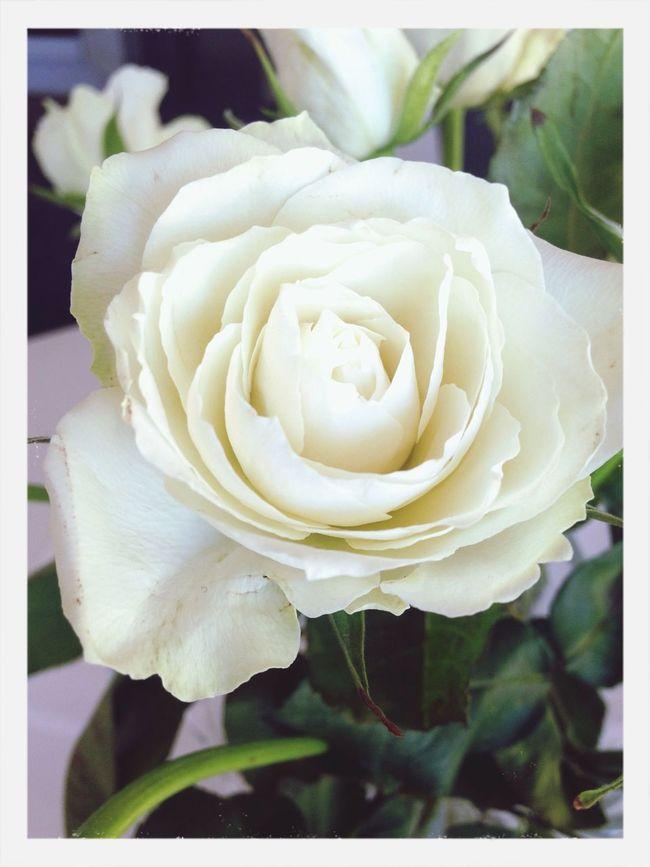 Flowers Roses Spring