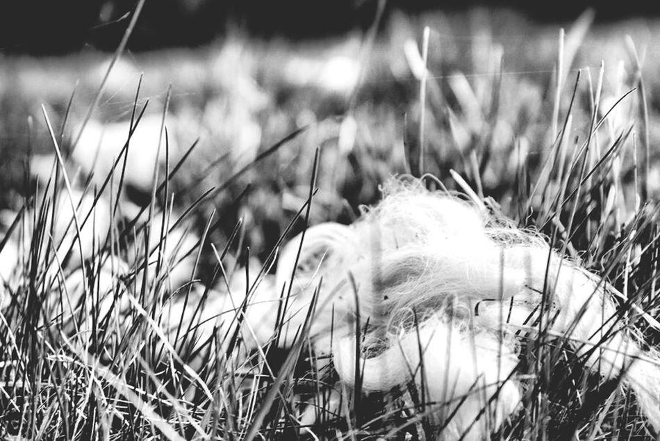 Meadow Wool Grass White