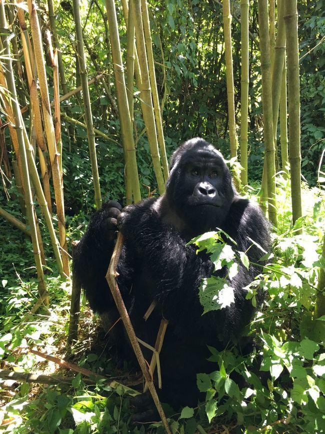 Mountain Gorilla Rwanda Portrait