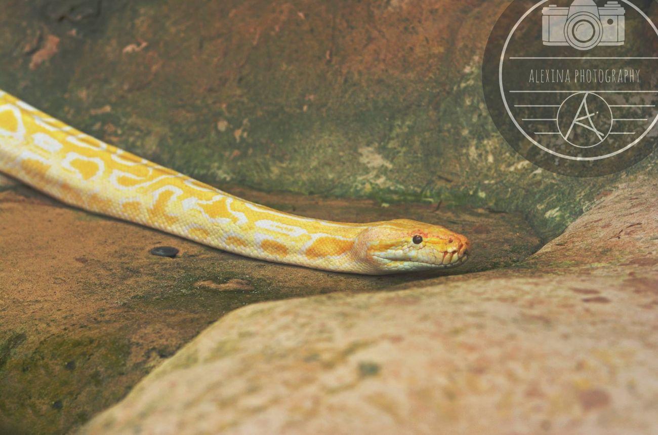 Yellow Yellowsnake Albinoburmesepython Snake Big Snake Reptile Scales