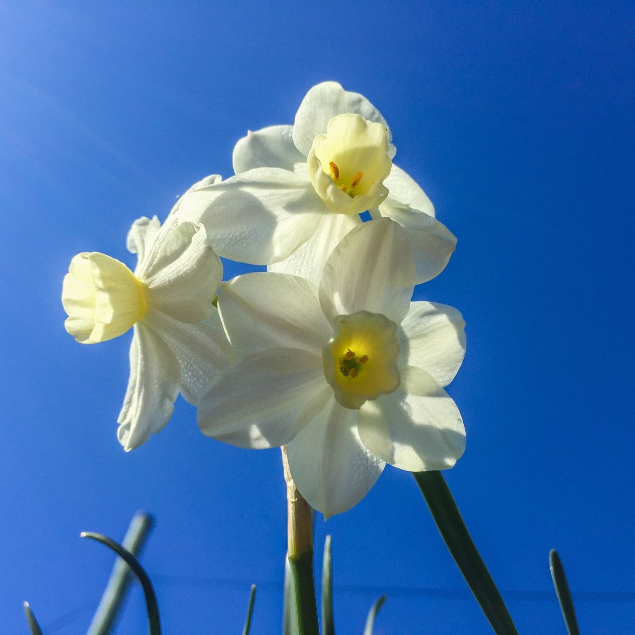 Low Angle View Of Daffodils Against Clear Blue Sky