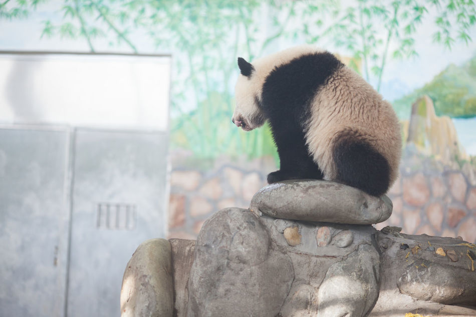 Beautiful stock photos of panda, Animal Themes, Animals In The Wild, Bear, Day