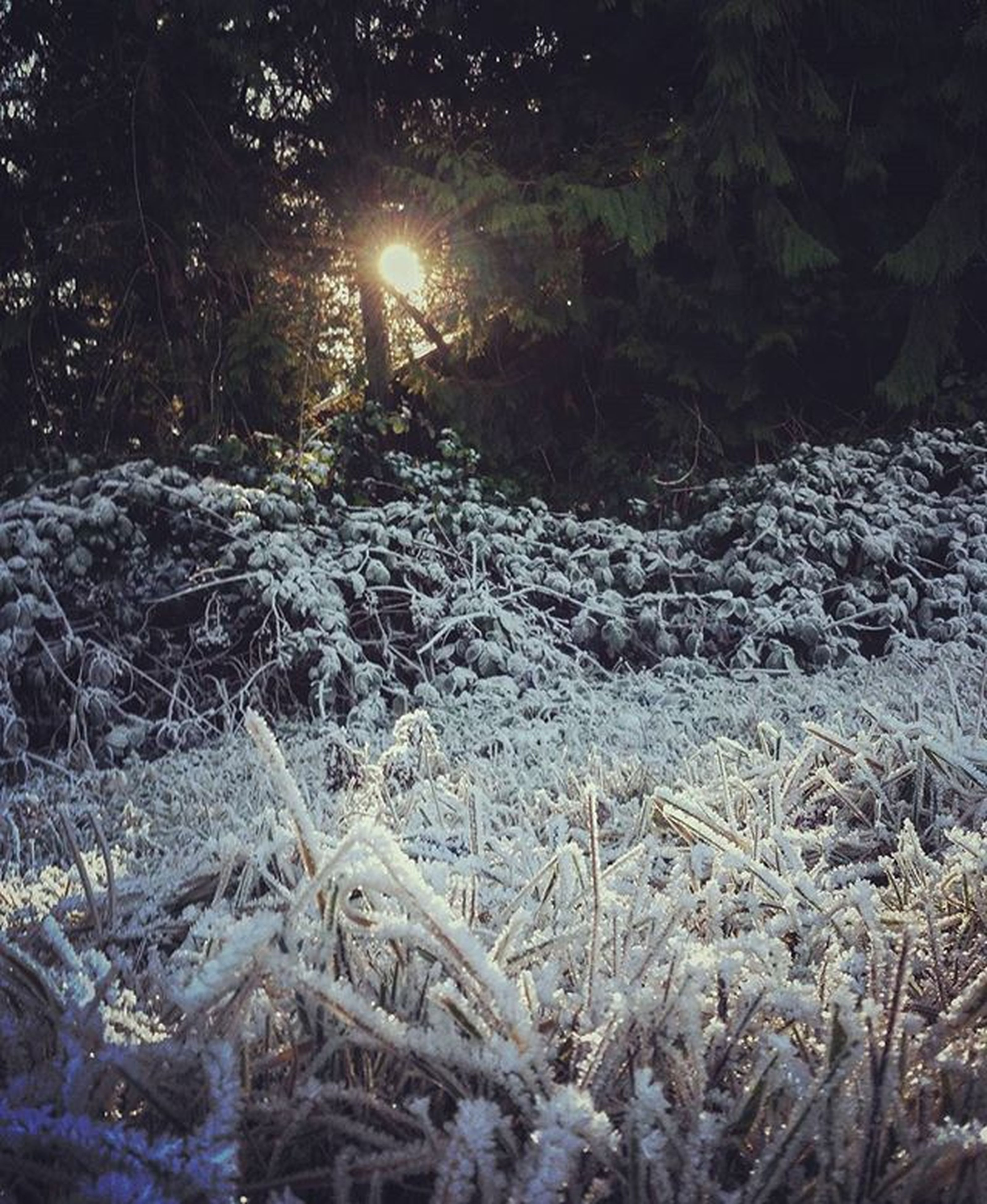 sun, tranquility, tree, sunlight, nature, tranquil scene, winter, sunbeam, snow, lens flare, cold temperature, forest, scenics, beauty in nature, grass, non-urban scene, landscape, field, growth, outdoors