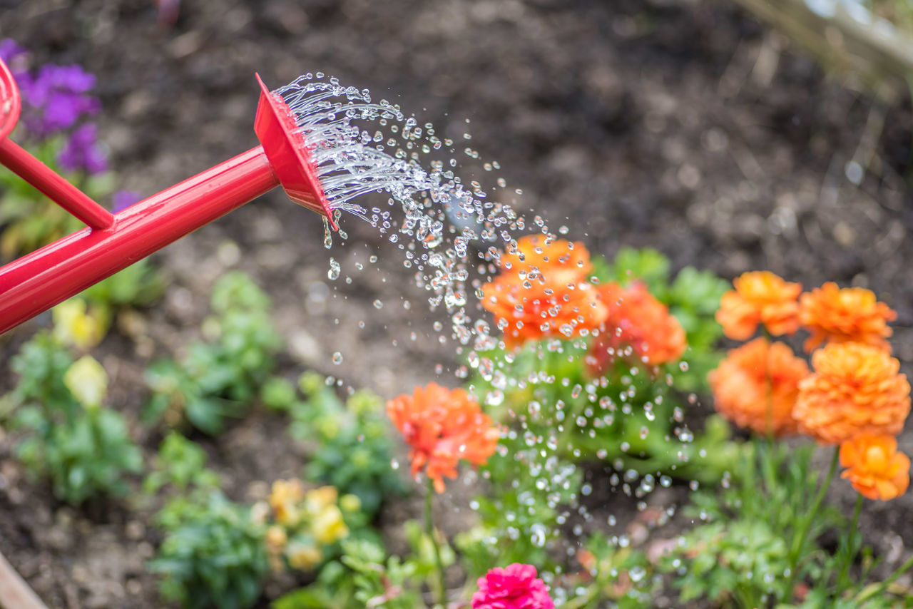 Red watering can sprinkling water on colorful spring flowers in daylight Watering Can Painted Red Color Spring Flowers Stop Action Watering Flowers Sprinkling Water Droplets Falling Water Gardening Garden Photography No People