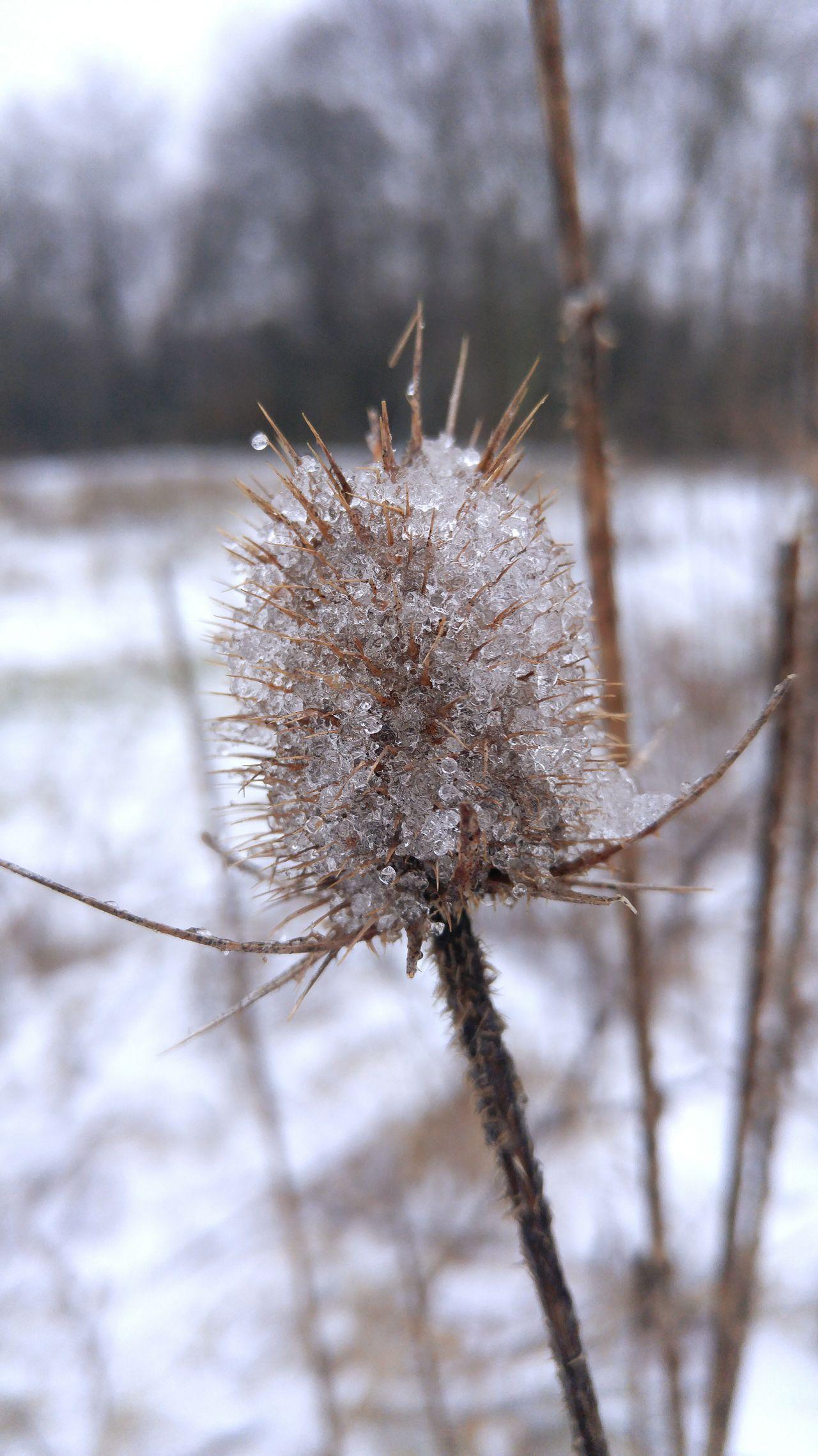 Thistle Nature Outdoors Macro Beauty Macro Photography Snow Ice Fwjphotos Winter LG G4