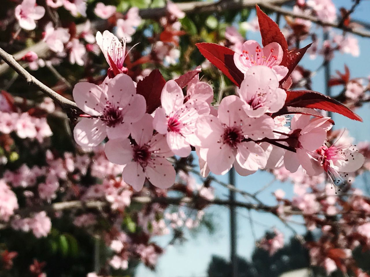 Flower Growth Nature Fragility Petal Pink Color Beauty In Nature No People Close-up Blossom Flower Head Freshness Outdoors Day Sakura Cherry Blossoms Japanese