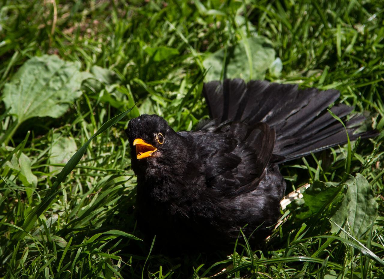 Animal Themes Animal Wildlife Animals In The Wild Beak Bird Black Color Blackbird Close-up Day Grass Nature No People One Animal Outdoors