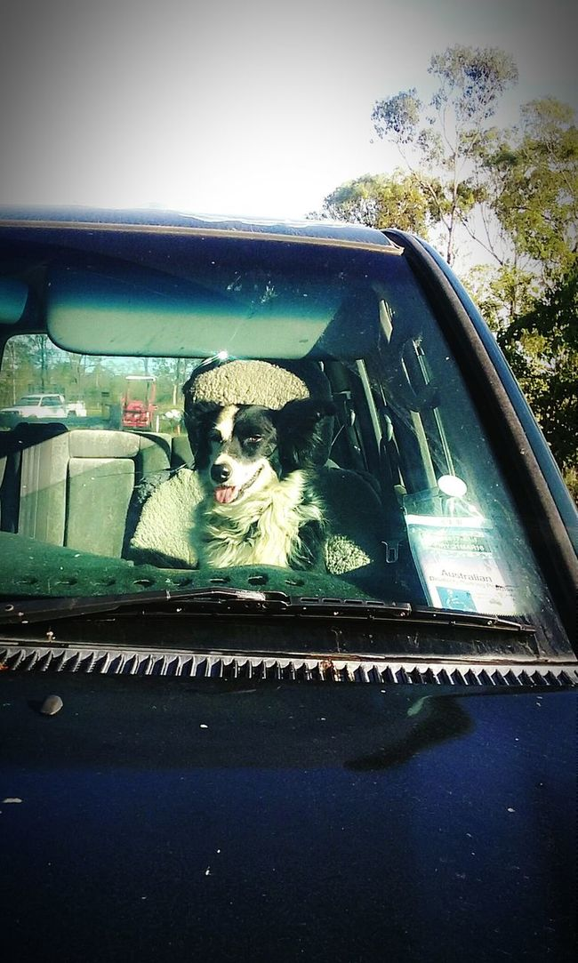 Dogslife Dogs Dog In Car Border Collie Black And White Dogs Working Dogs Dogs Of EyeEm