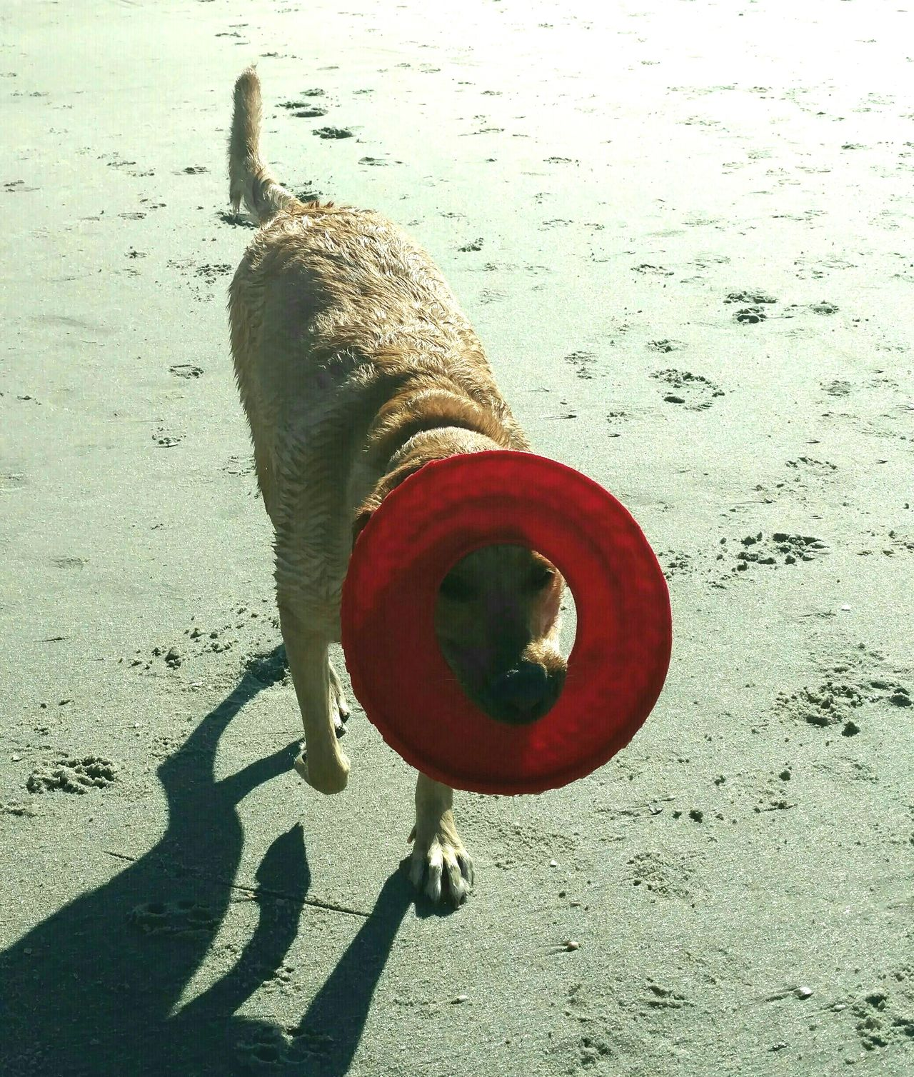 Beach Sand Shadow Dog Dog On Beach Frisbee Playtime Beach Games