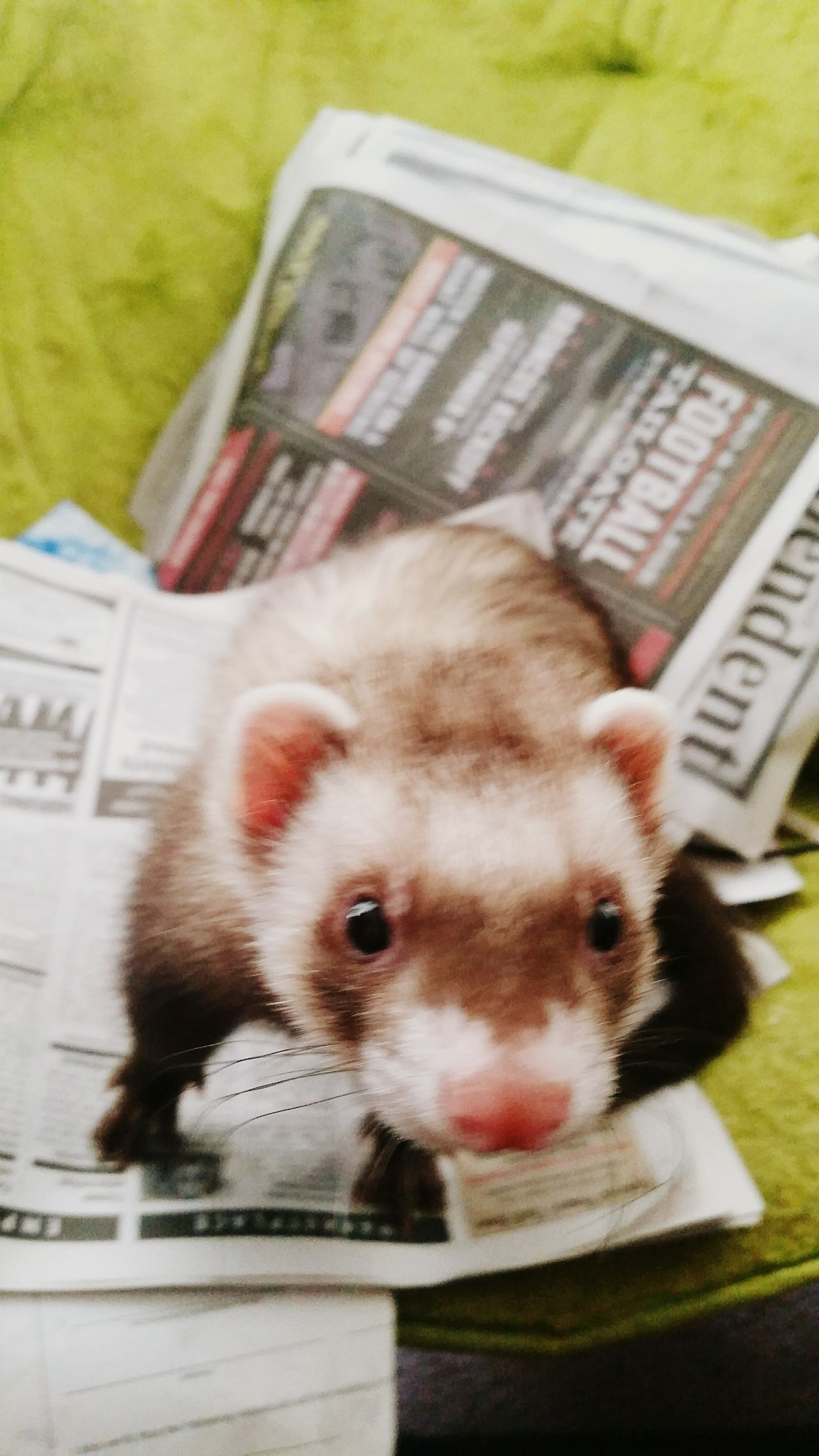 Act Fast Buddyferret Eyem Pets Busy Things To Stash Love My Ferret Friend Colorado Springs CO USA