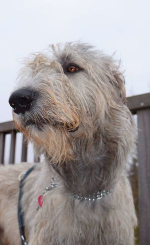 Animal Themes One Animal Domestic Animals Close-up Outdoors Animal Head  Portrait Cearnaigh Looking At Camera Dogs Of Winter Irish Wolfhound Dogs Of EyeEm Eyes Are Soul Reflection February 2017 Winter 2017 How's The Weather Today? Bokeh Showcase February 2017 Dogslife Focus On Foreground Dog From My Point Of View Pets