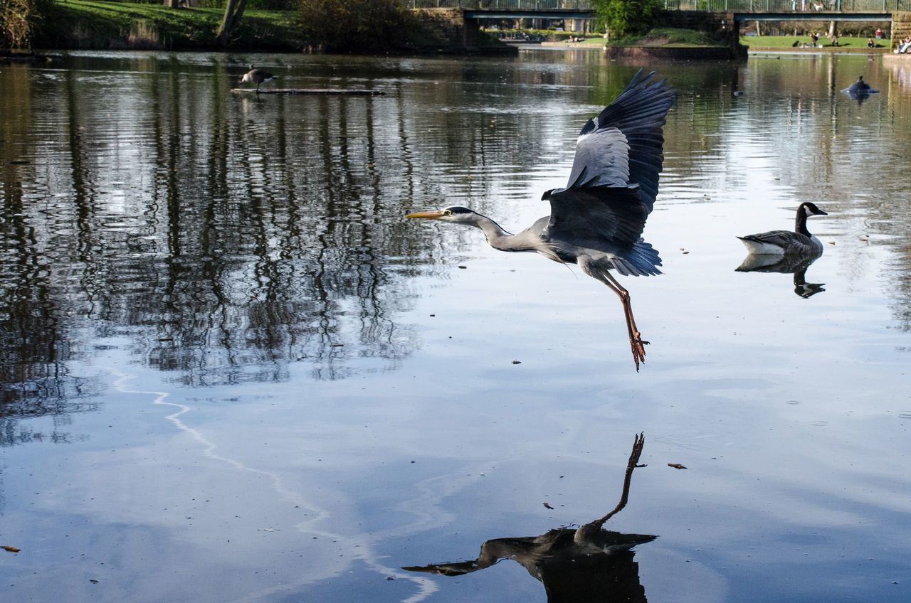 bird, animal themes, animals in the wild, lake, water, animal wildlife, reflection, nature, spread wings, day, outdoors, flying, no people, beauty in nature