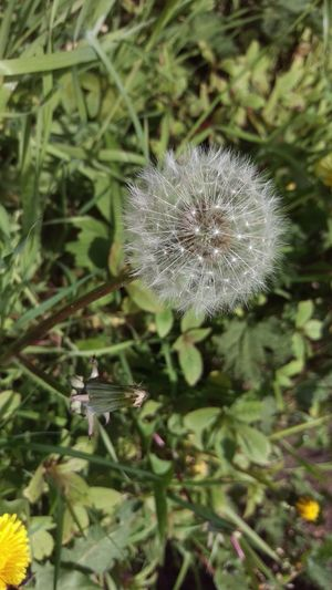 Beauty In Nature Dandelion Outdoors Nature No People Springtime