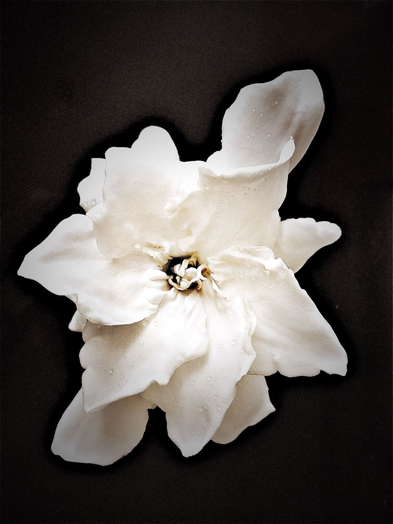 Beauty In Nature Flower Single Flower Black Background Botany Fragility NEM Black&white EyeEm Nature Lover Ladyphotographerofthemonth Flower Collection Flower Head Gardenia Close-up Blossom Flowerporn Tropical Flowers