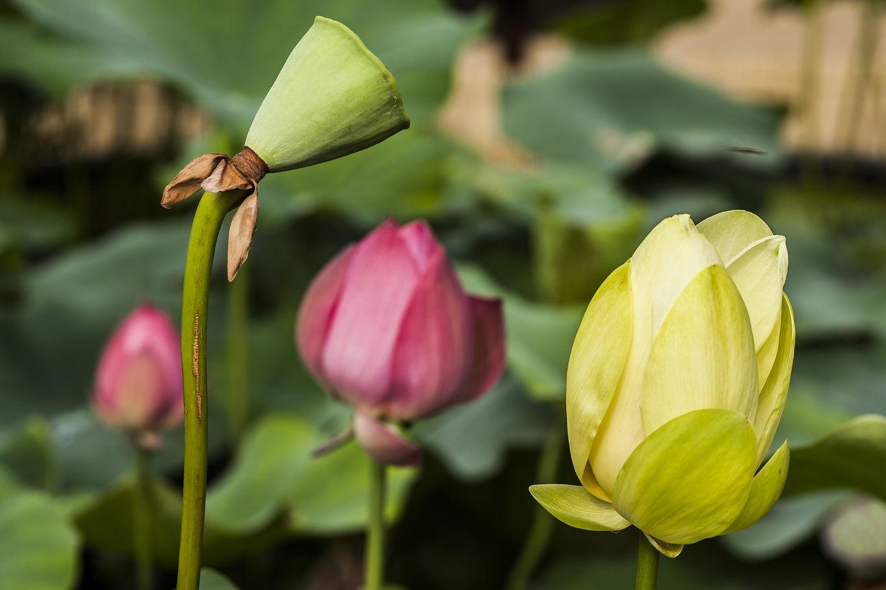 Lotus Flower Pink Yellow Seoul Korea Jogeasa Buddist Temple