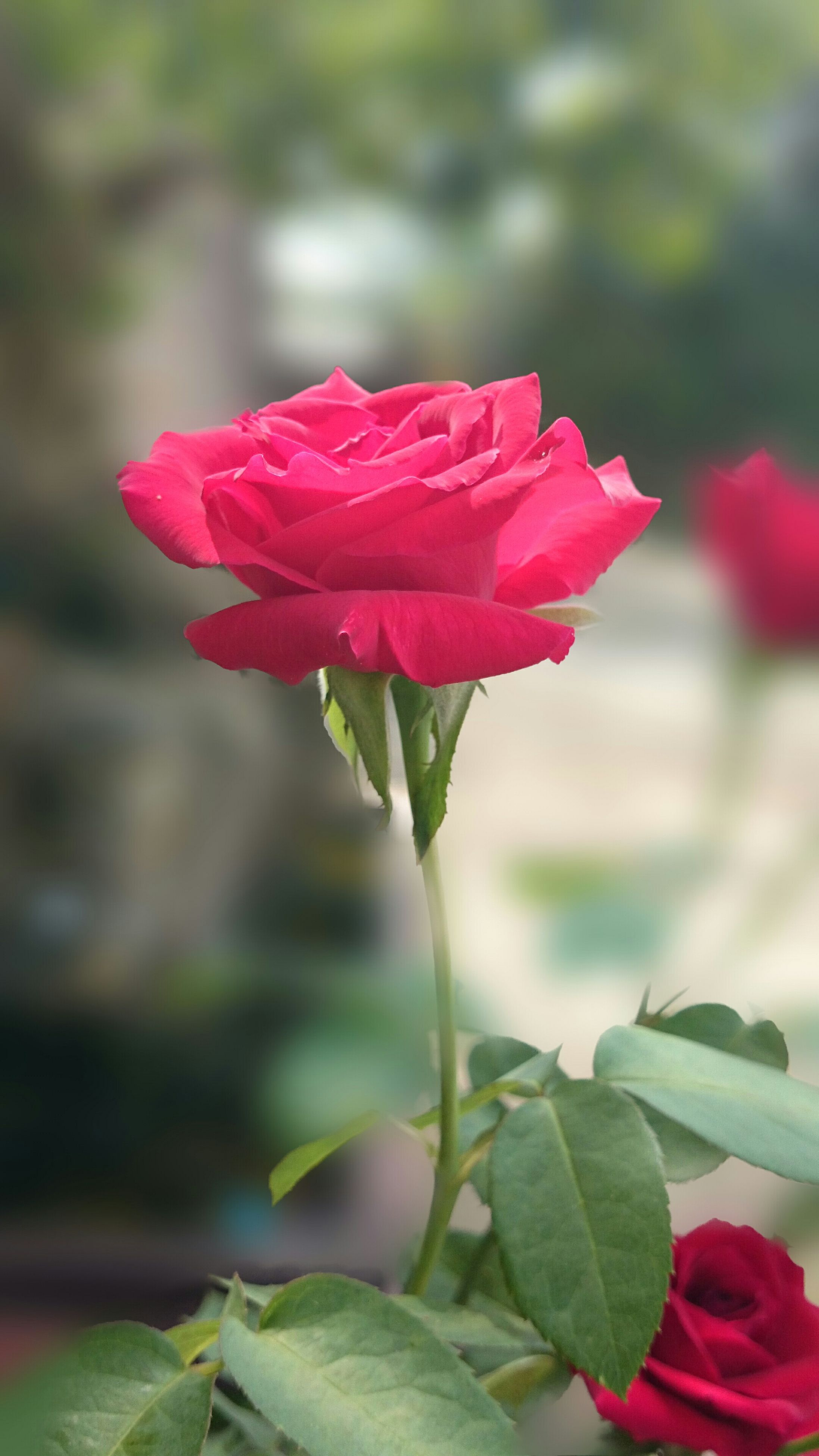 flower, petal, freshness, fragility, flower head, focus on foreground, red, growth, close-up, beauty in nature, blooming, leaf, plant, nature, single flower, rose - flower, pink color, stem, bud, in bloom