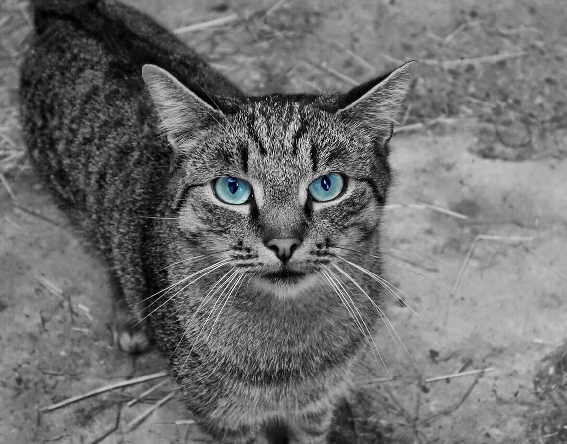 Domestic Cat Pets One Animal Looking At Camera Feline Whisker Close-up Portrait Blackandwhite Black Cat Tomcat Art Outdoors Animal Relax Realxing Cats Cat♡ Cats Of EyeEm Cat Lovers Eyes Eyes Are Soul Reflection (null)Blue Eyes