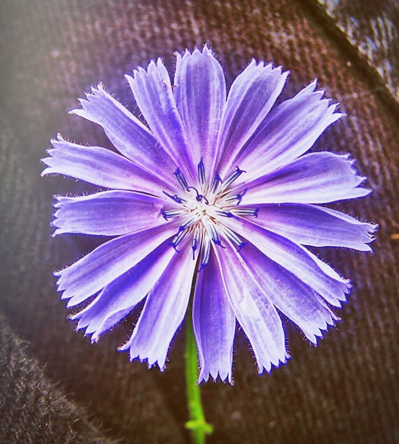 Felicity Flower Purple Color Closeup