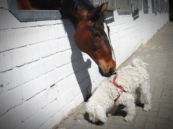 My Puli Elmo Fairyking from the Valley of Life (Elmo Elfenkönig vom Tal des Lebens) and a wonderful Horse. Horse And Dog Puli Horse Neugier  Domestic Animals Horse Mammal Animal Themes Livestock Outdoors Pets No People Day