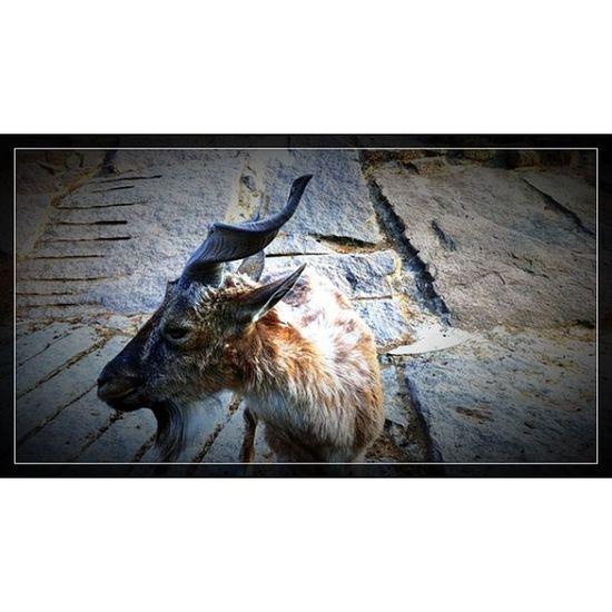 @fotor_apps Fotor Москва московскийзоопарк зоопарк козел весна zoo moscow instazoo instamoscow goat spring 🐐
