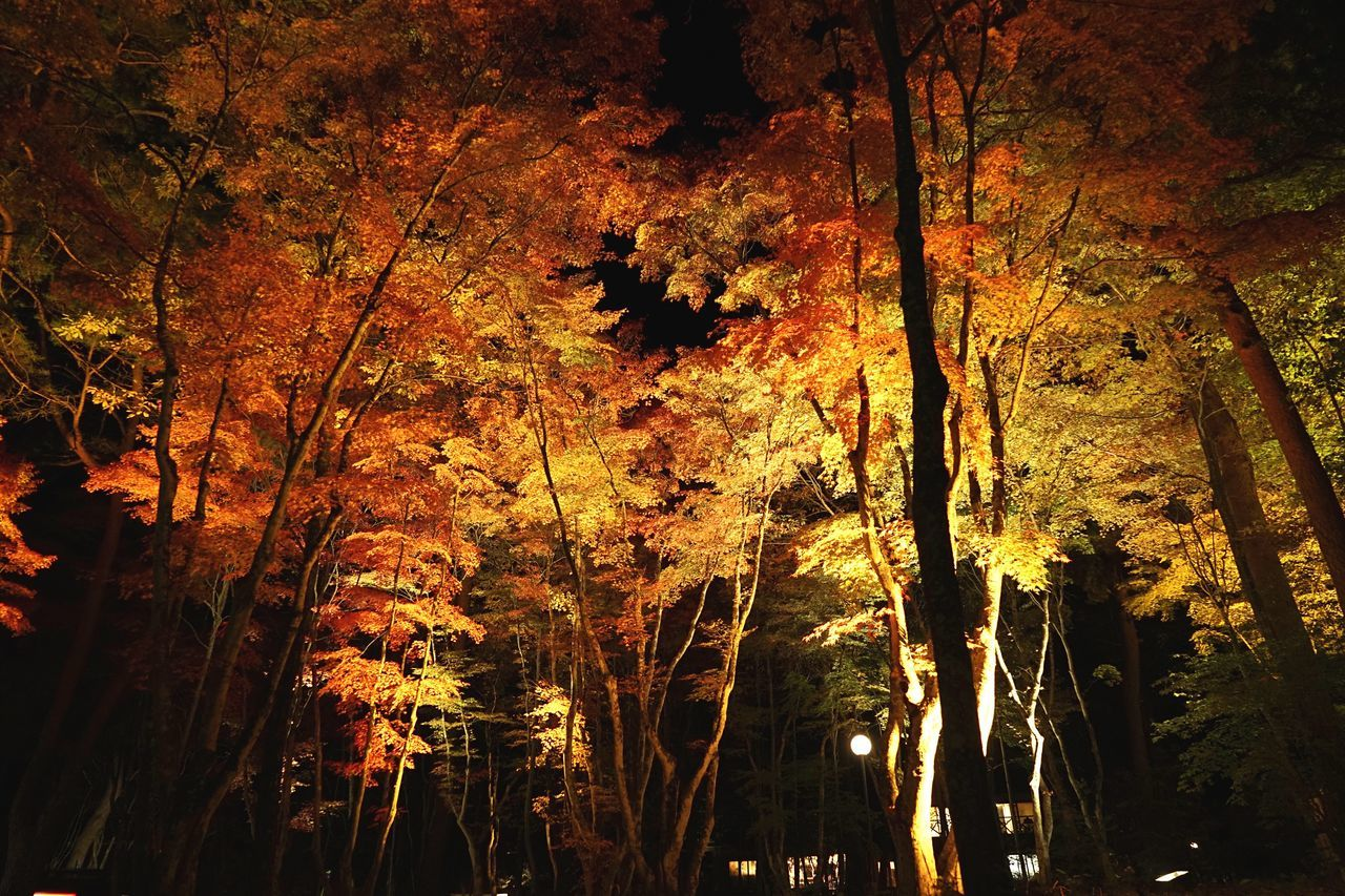 Lighting Up Nature Tree Beauty In Nature Growth Tranquility No People Scenics Sunlight Autumn Leaf Low Angle View Change Outdoors Forest Day Sky Fall Leaves Autumn Leaves Japanese Garden Maple Tree Finding New Frontiers Illuminated