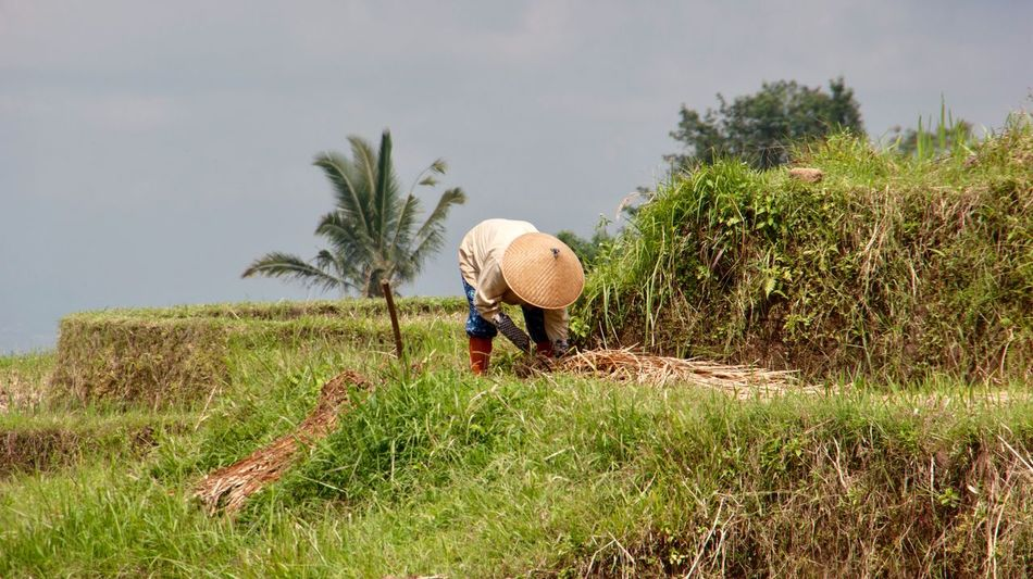 Real People Working Rice Farmer Rice Farming Non La Occupation Growth Field Nature Grass Men Rural Scene Outdoors Sky Agriculture Day Tree Carrying On Head