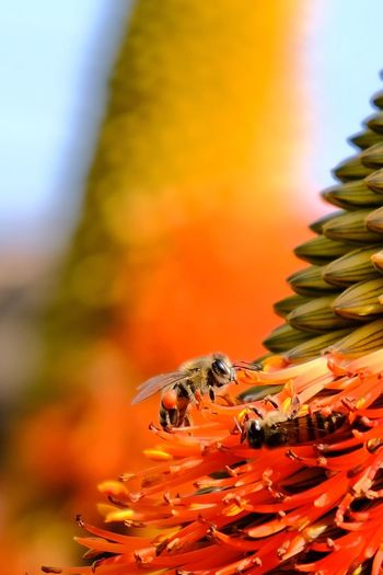 Life of a bee Orange Color Insect Nature Flower Close-up Bee