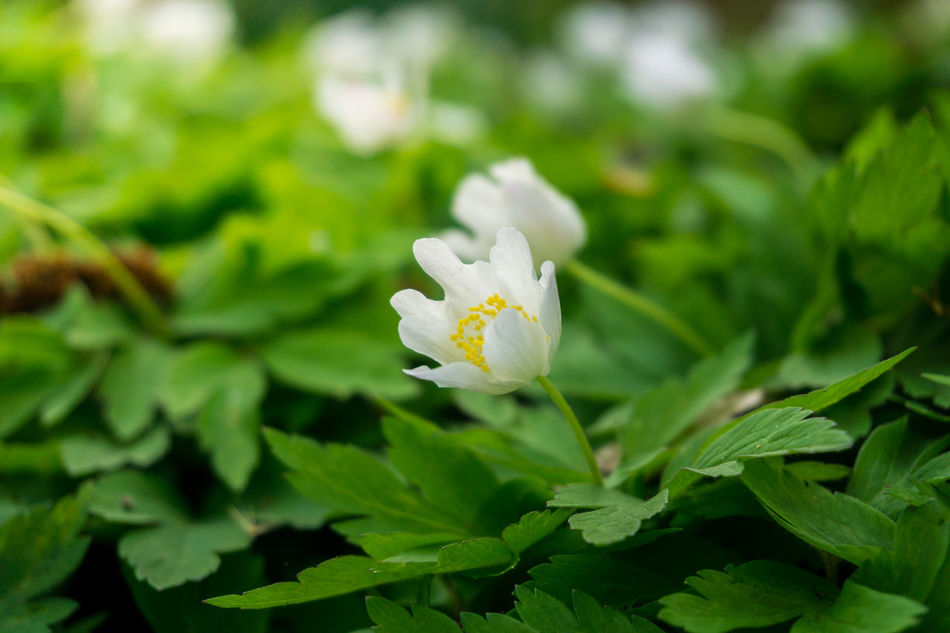 Wood anemones in spring Awakening Background Beautiful Blooming Flowering Flowers Fragility Freshness Garden Green Growing Growth Inflorescence Little Nature Outdoor Petals Pistils Plants Spring Sunny Sunshine White Wood Anemone Wood Anemones