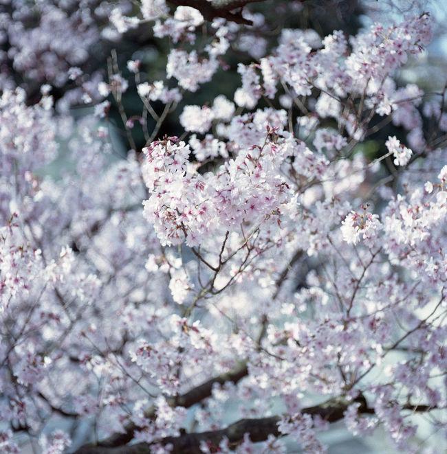 桜 Sakura Flowers Taking Photos Relaxing Hello World Film EyeEm Best Shots Eyeemphotography Film Photography Tokyo ローライコード Rolleicord